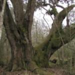 Giant Sargent Area Tree