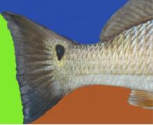Redfish in Sargent Texas