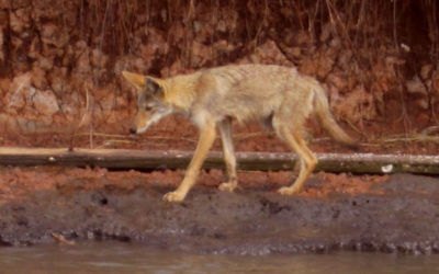 redwolf or coyote near Sargent Texas
